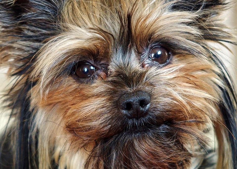 My Szofy Face, Yorkie, Dog, Facial, Hairy