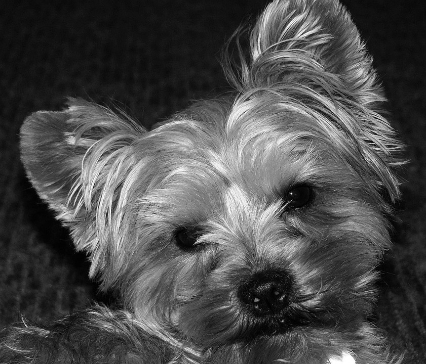 Animal, Dog, Yorkie, Terrier, Pet, Canine