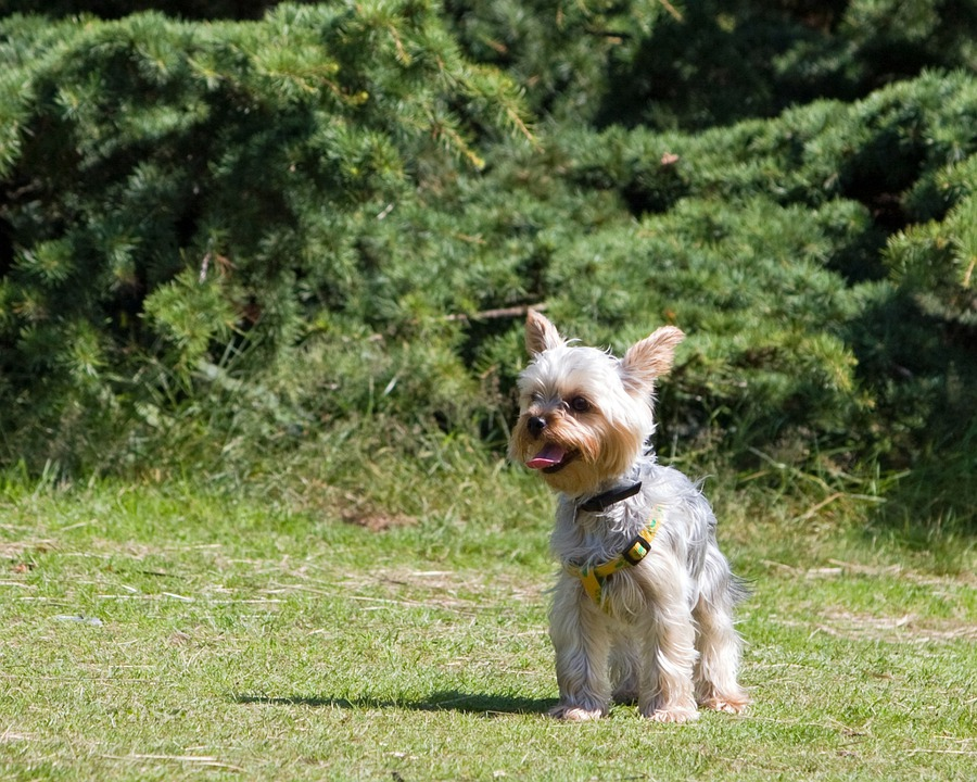 Dog, Beautiful, Yorkshire Terrier, Yorkie, Terrier, Pet
