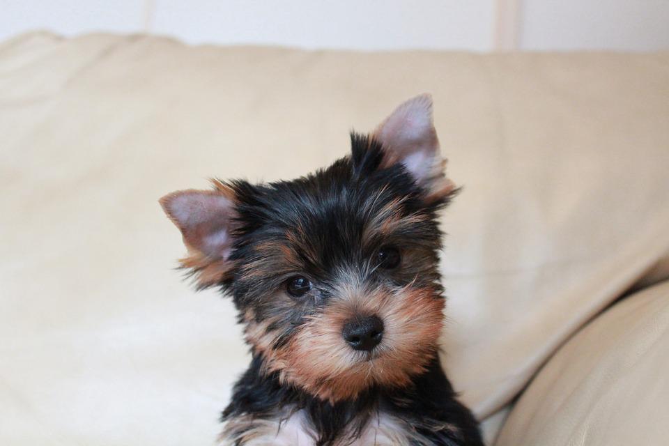 Puppy, Yorkshire Terrier Puppy, Yorkie Puppy, Pet