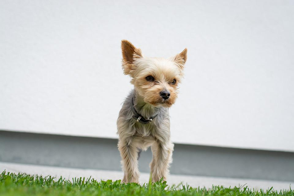 Dog, Yorkie, Yorkshire Terrier, Small, Small Dog