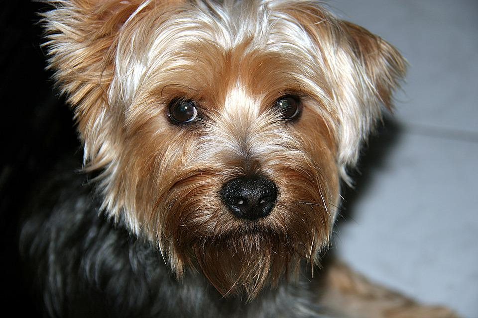 Pet, Yorkshire, Look, Dog, Beautiful, Animal