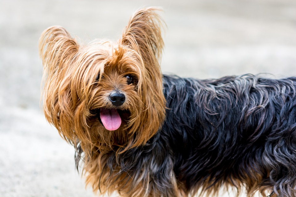 Yorkshire Terrier, Dog, Small Dog