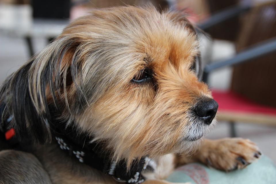 Yorkshire Terrier, Dog, Pet, Small Dog, Lap Dog, Fur