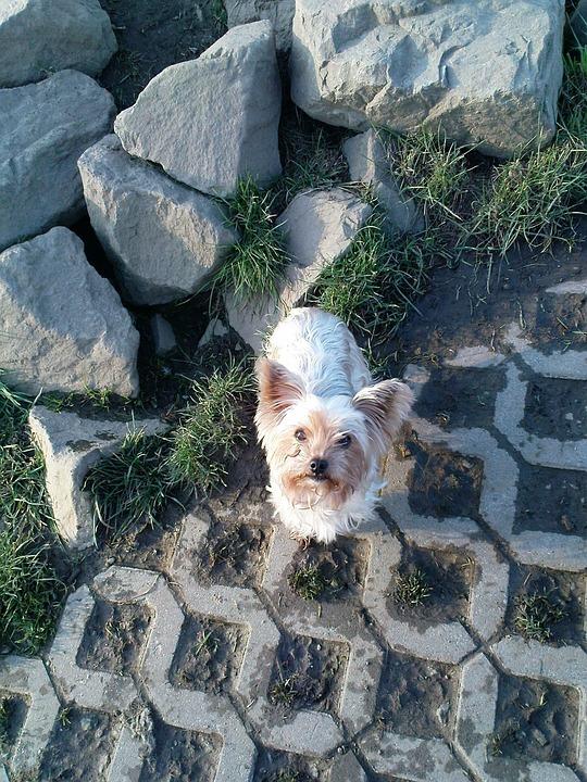 Dog, Yorkshire Terrier, Cute, Yorkie