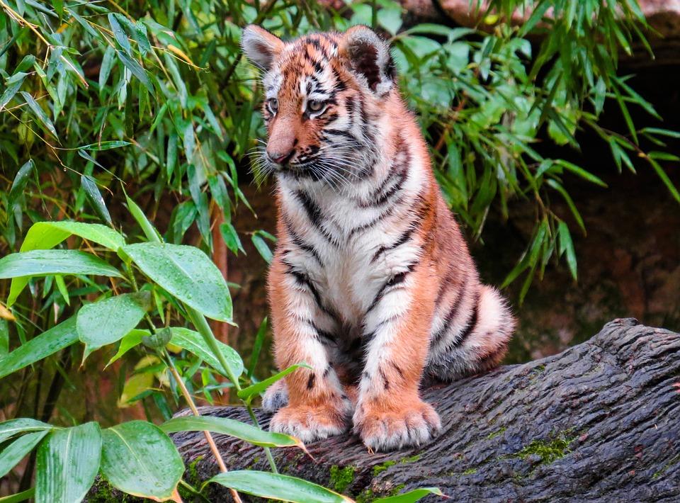 Animal World, Tiger, Young Animal, Young Tiger