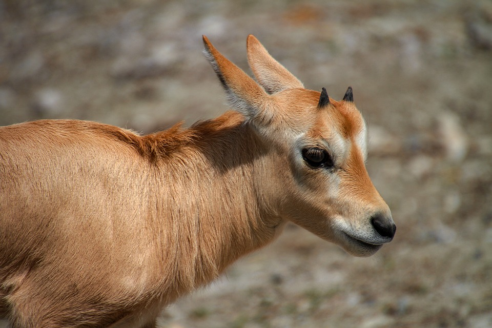 Antelope, Young Animal, Animal World, Arabian Oryx
