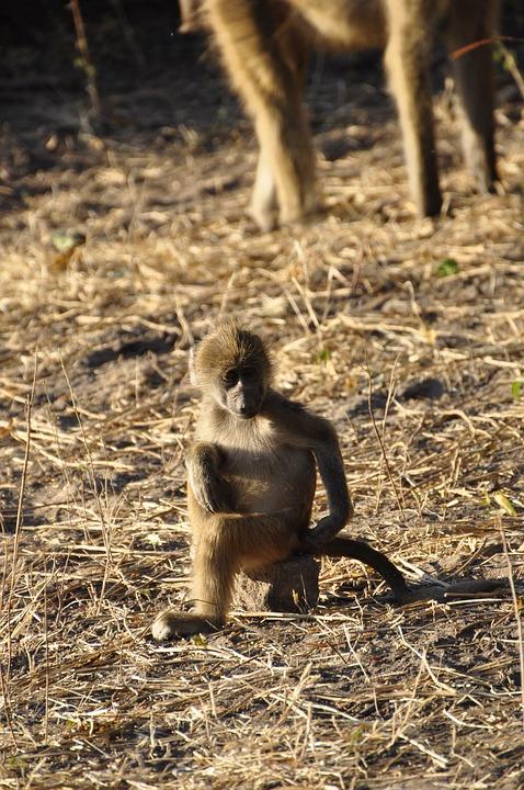 Baboon, Monkey, Young Animal, Sit, Mammal, Animal World