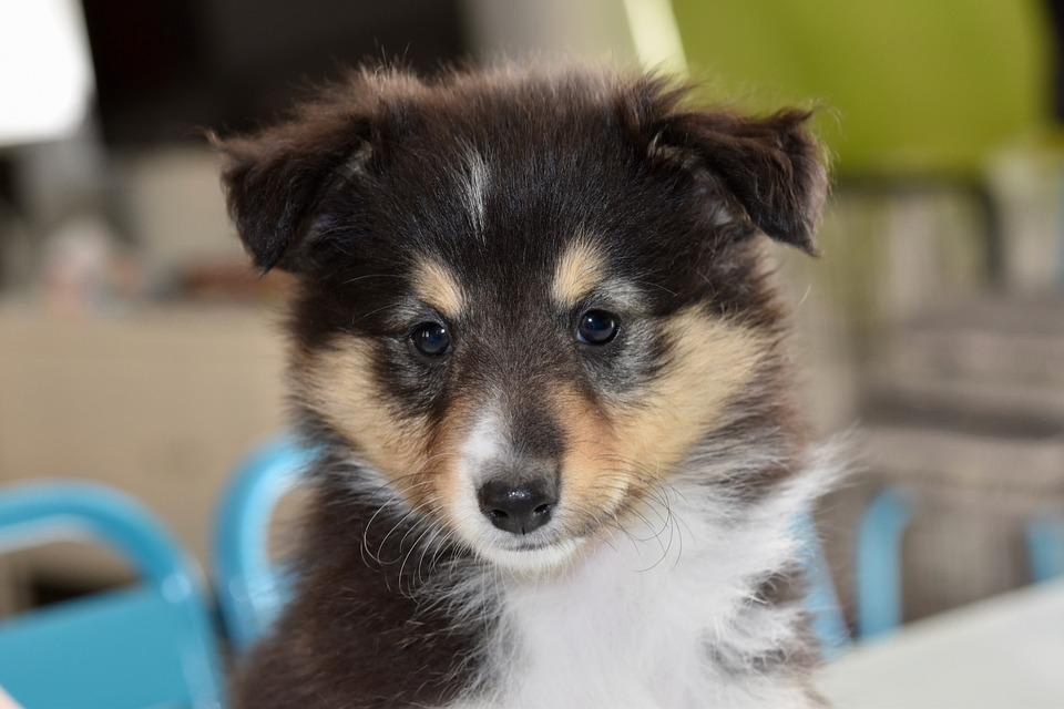 Dog, Shetland Sheepdog, Puppy, Young, Animal, Canine