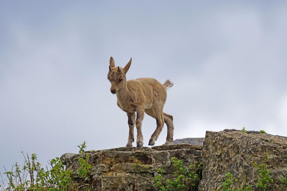 Capricorn, Young Animal, Climb