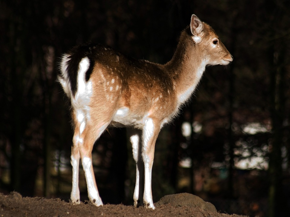 Wild, Fallow Deer, Young Animal, Kitz