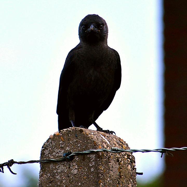 Jackdaw, Young Animal, Black, Cute, Close, Mammal