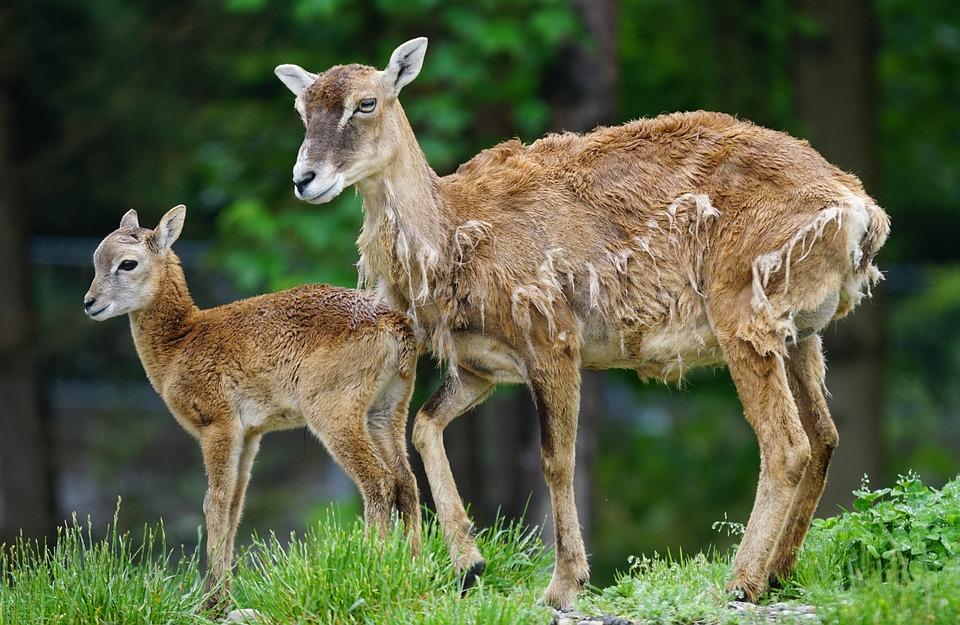 Mouflon, Calf, Mammal, Young Animal