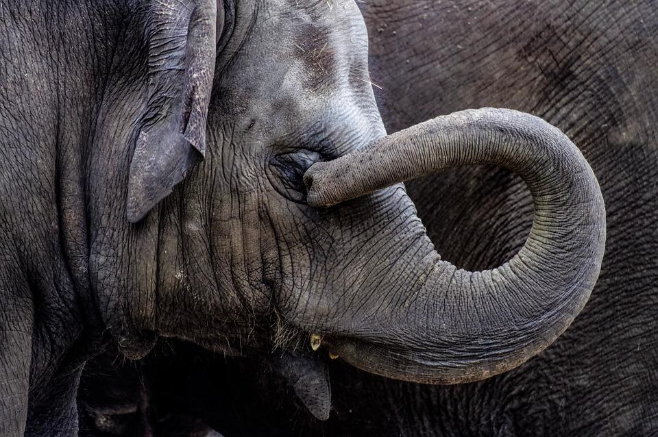 Elephant, Young Animal, Young, Proboscis, Pachyderm