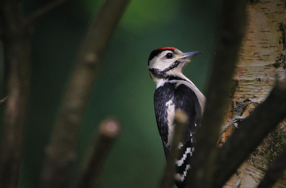 Great Spotted Woodpecker, Woodpecker, Young Animal