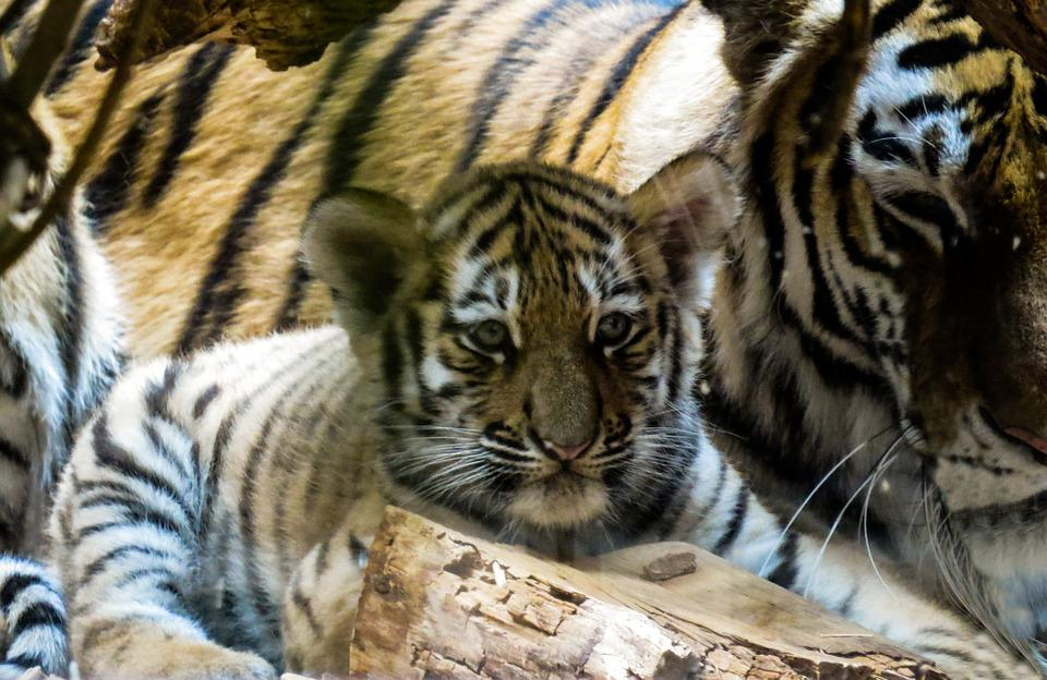 Free photo young animal zoo wild cute tiger tiger cub young max pixel tiger young young animal tiger cub wild cute zoo thecheapjerseys Image collections
