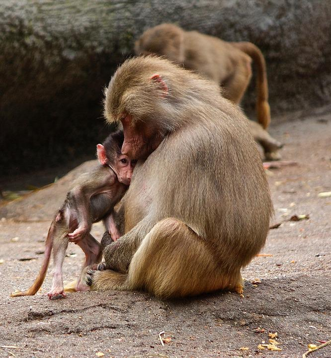 Ape, Monkey Family, Zoo, äffchen, Young Animal