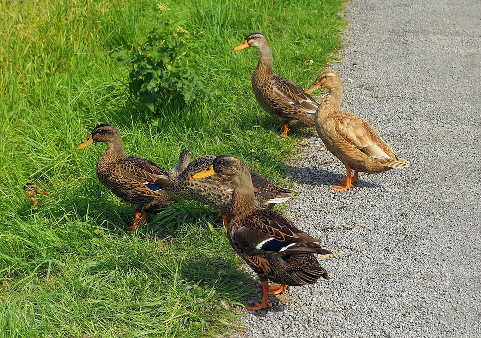 Ducks, Curious, Young Animals, Color, Colorful, Cute