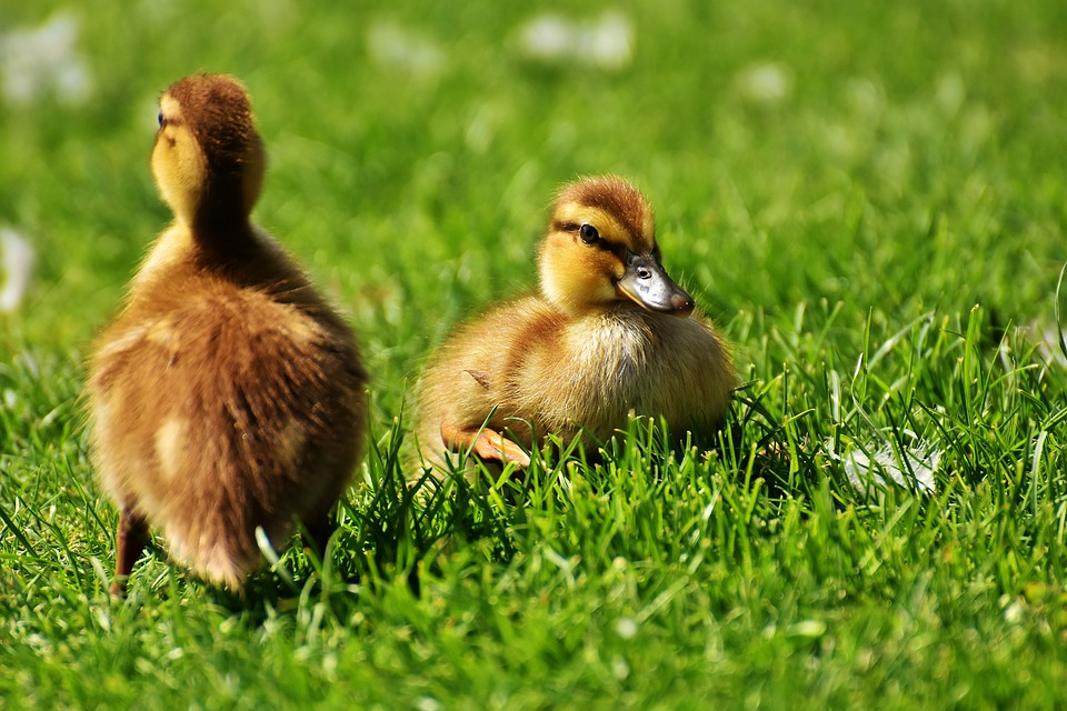 Ducklings, Young, Ducks, Pair, Young Animals, Mallards