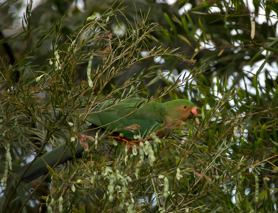 King Parrot, Alisterus Scapularis, Young, Bird, Male