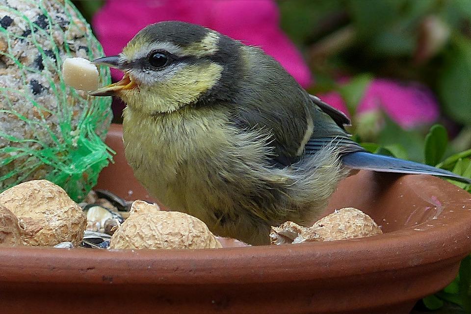 Blue Tit, Cyanistes Caeruleus, Bird, Young, Foraging