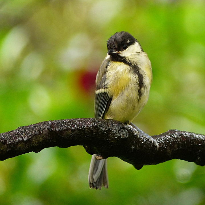 Animal, Bird, Tit, Parus Major, Young, Foraging, Garden