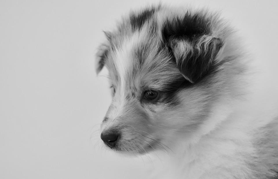 Puppy, Bitch, Young Bitch, Shetland Sheepdog