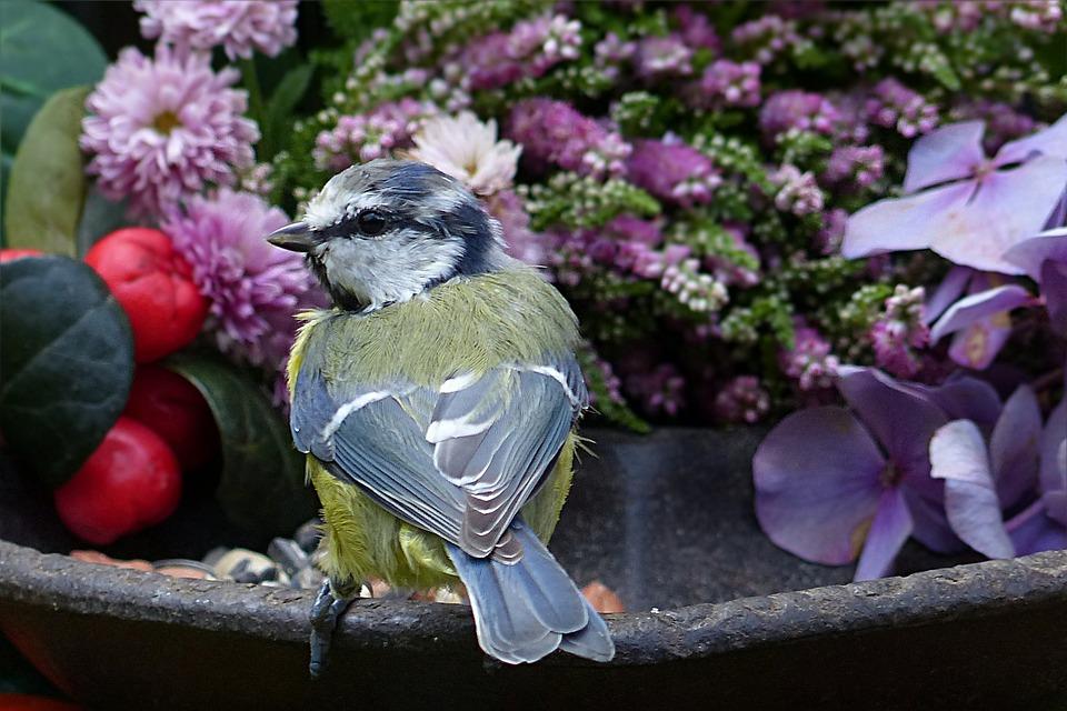 Animal, Bird, Blue Tit, Cyanistes Caeruleus, Young
