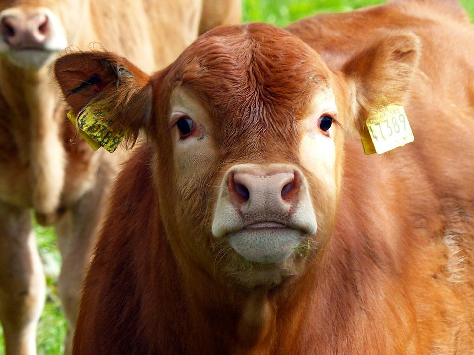 Calf, Beef, Young Calf, Wildlife Photography, Brown