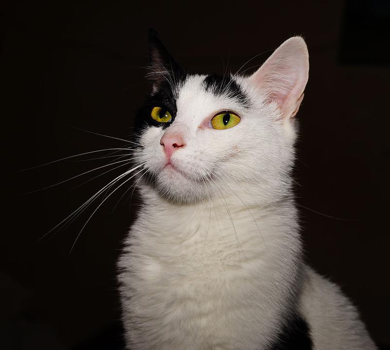 Cat, Domestic Cat, Female, Young Cat, Animal