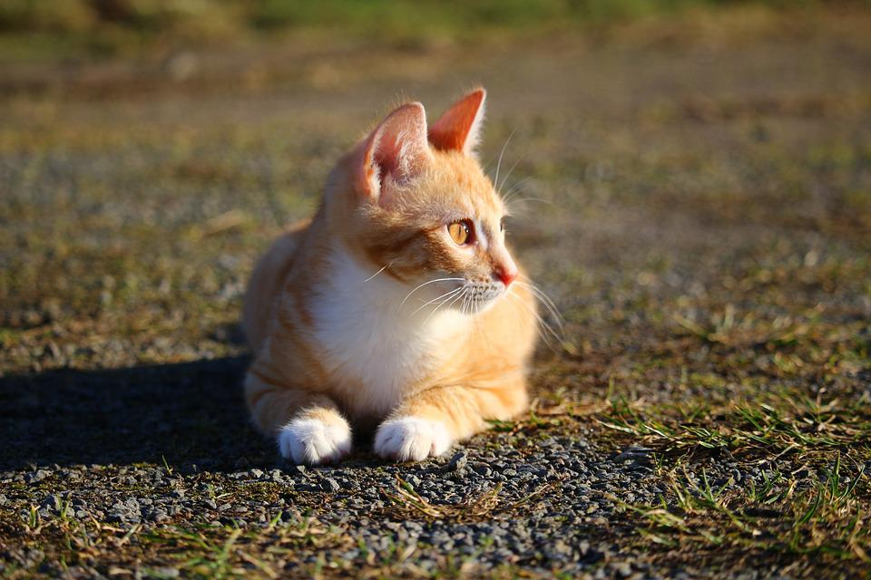 Cat, Kitten, Red Mackerel Tabby, Red Cat, Young Cat