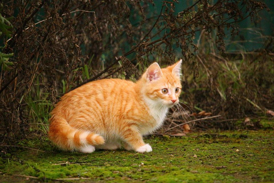 Cat, Kitten, Red Mackerel Tabby, Cat Baby, Young Cat