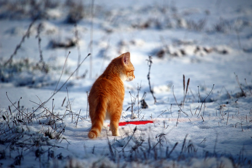Cat, Kitten, Snow, Red Cat, Young Cat