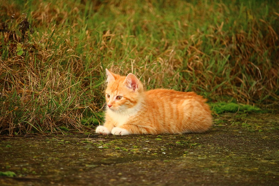 Cat, Kitten, Grass, Cat Baby, Red Cat, Young Cat
