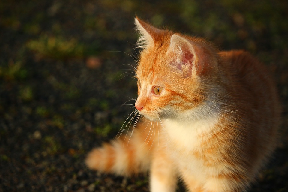 Cat, Kitten, Cat Baby, Young Cat, Red Cat, Domestic Cat