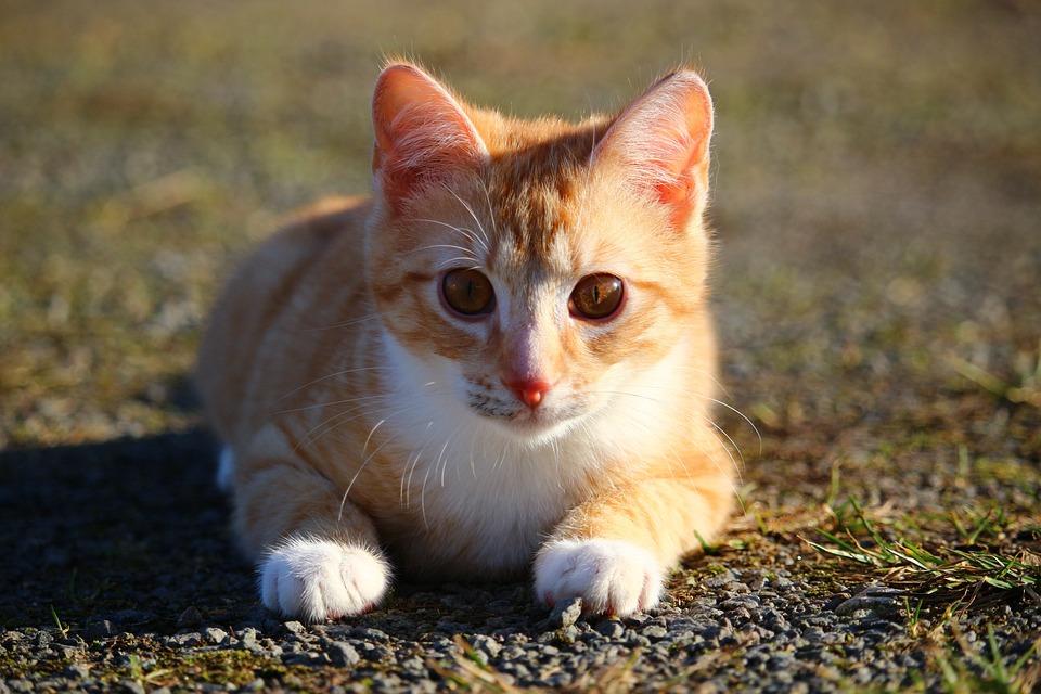 Cat, Kitten, Red Mackerel Tabby, Red Cat, Young Cat
