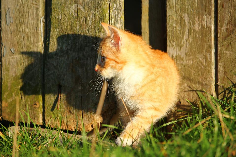 Cat, Kitten, Red Mackerel Tabby, Cat Baby, Young Cat