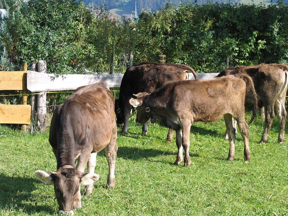 Cows, Young Cattle, Allgäu