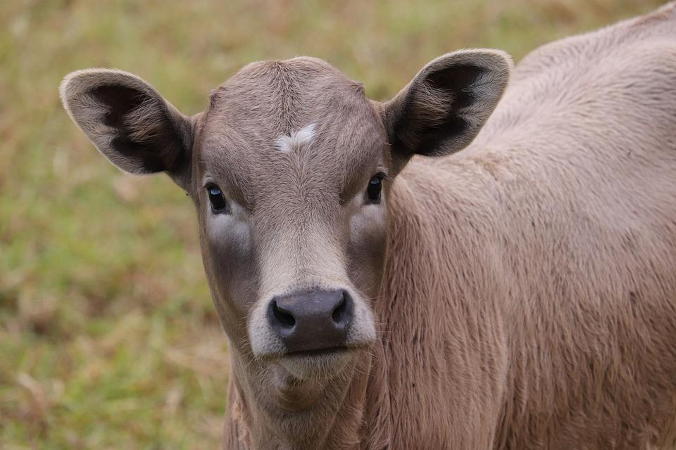 Calf, Cow, Cattle, Young Cow, Young Cattle, Animal