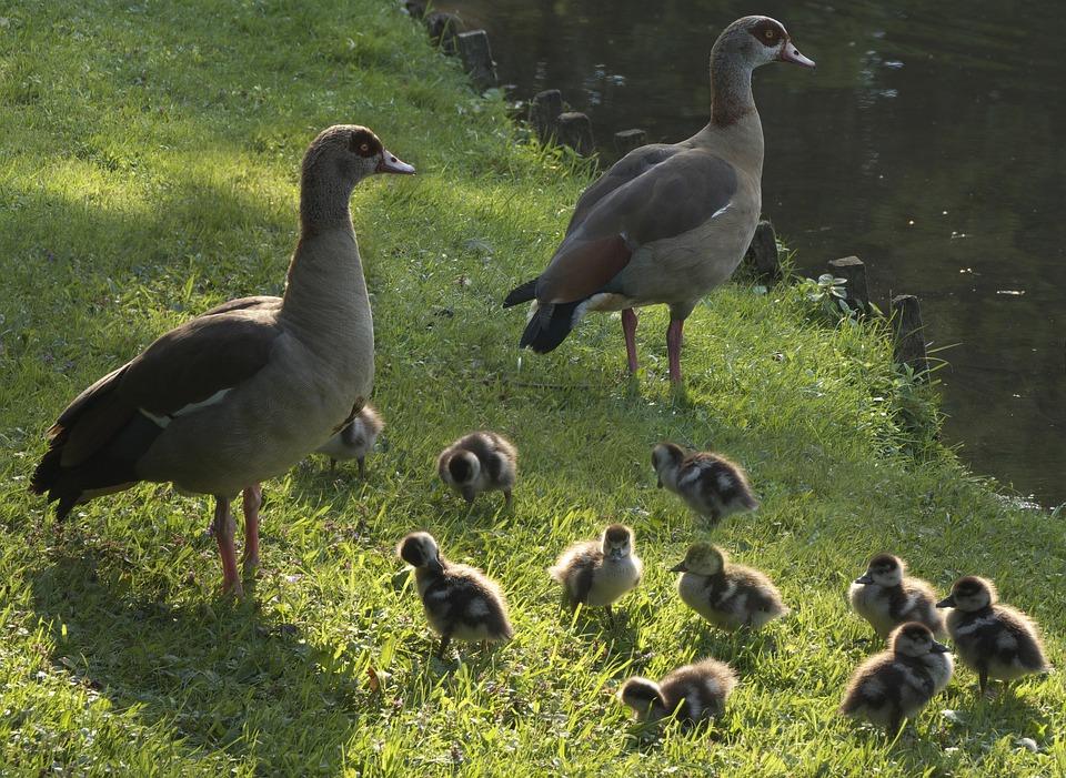 Ducks, Chicken, Entenkuecken, Water Bird, Young