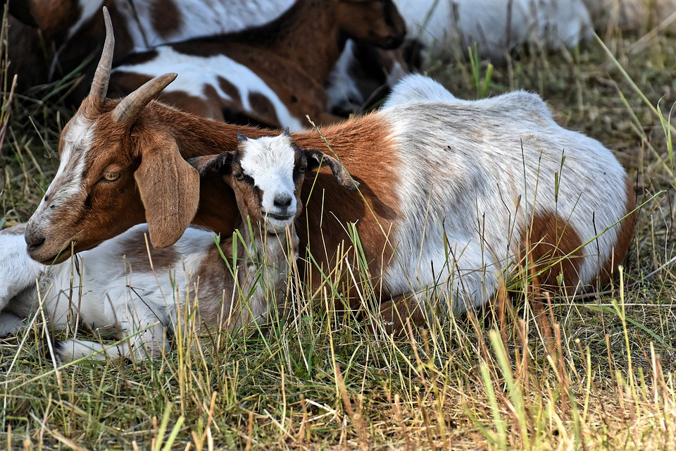 Goats, Mom And Child, Kid, Small, Cute, Young, Fur