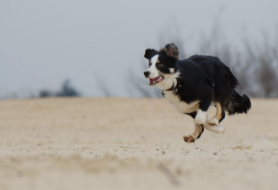 Running Dog, Border Collie, Beach, Summer, Young Dog
