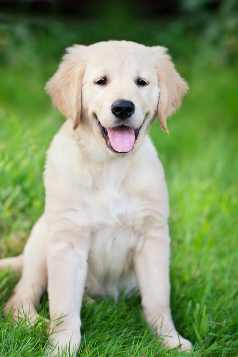 Dog, Puppy, Golden Retriever, Young, White, Pet