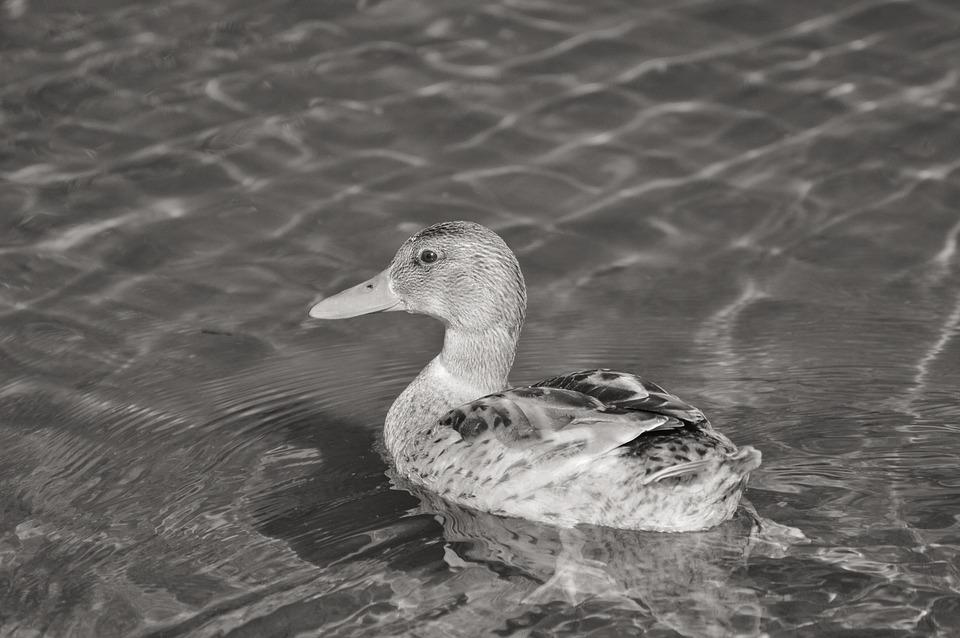 Ducks, Young Duck, Waterfowl, Bird, Poultry, Animal