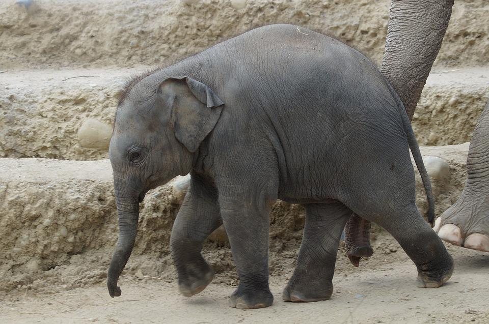 Young Elephant, Baby Elephant, Elephant's Child, Zoo