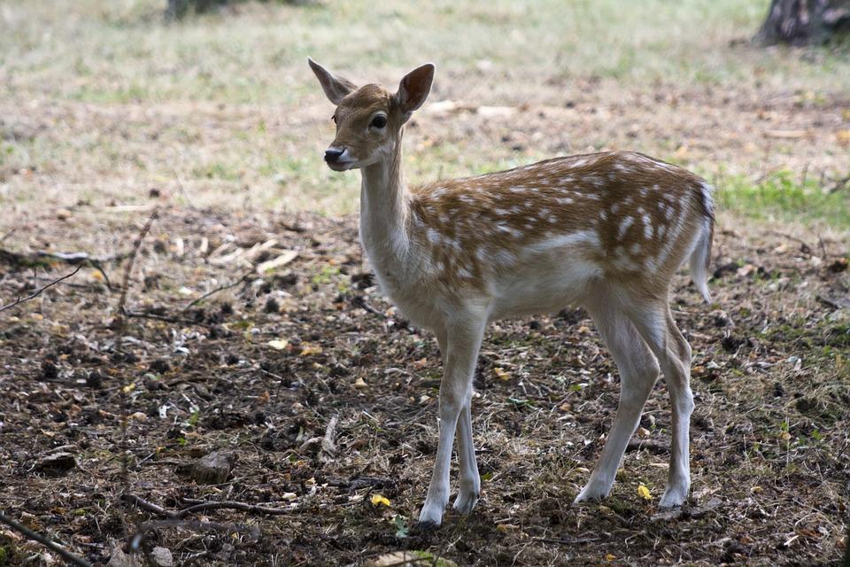 Young Fallow Deer, Fallow Deer, Fur, Stains, Antler