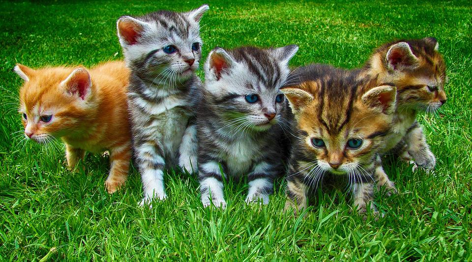 Kittens, Cats, Pet, Cute, Domestic, Feline, Young