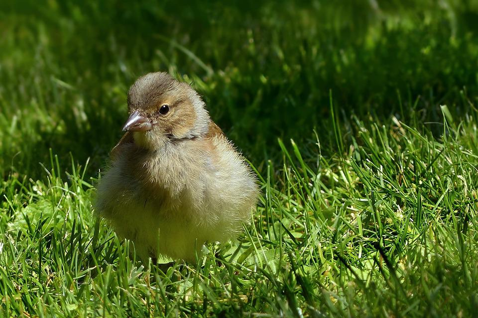 Animal, Bird, Chaffinch, Fringilla Coelebs, Young