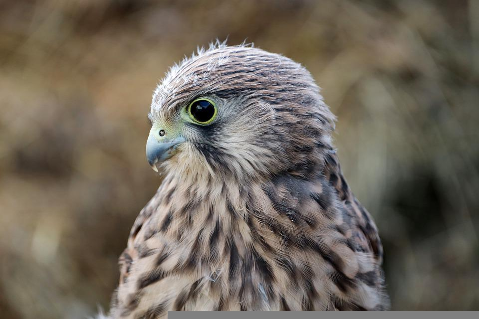 Falcon, Young Hawk, Bird Of Prey, Raptor, Freilebend
