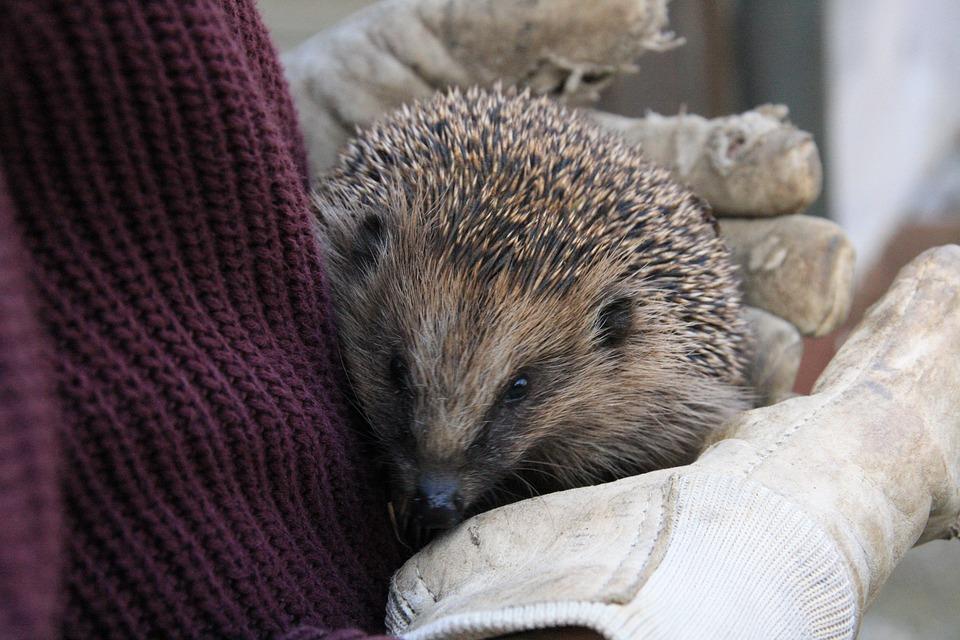 Hedgehog, Spur, Prickly, Young Hedgehog